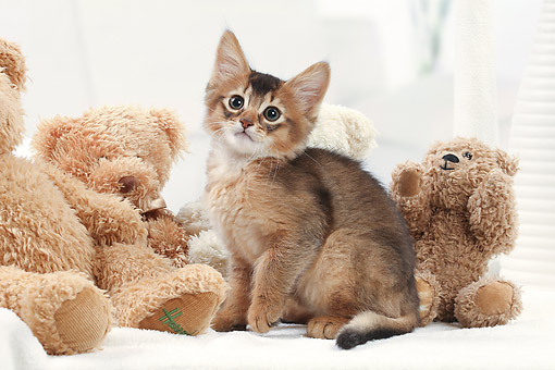 CAT 03 JE0429 01 © Kimball Stock Somali Kitten Sitting On Bed With Teddy Bears