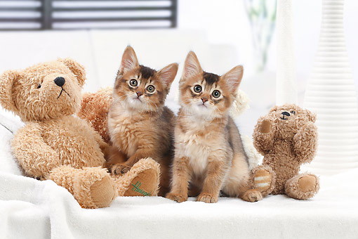 CAT 03 JE0430 01 © Kimball Stock Somali Kittens Sitting On Bed With Teddy Bears