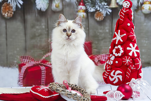 CAT 03 JE0431 01 © Kimball Stock Birman (Sacred Cat Of Burma) Kitten White Sitting With Christmas Ornaments