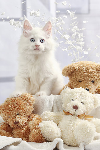 CAT 03 JE0432 01 © Kimball Stock Maine Coon Kitten White Sitting With Teddy Bears And Flowers