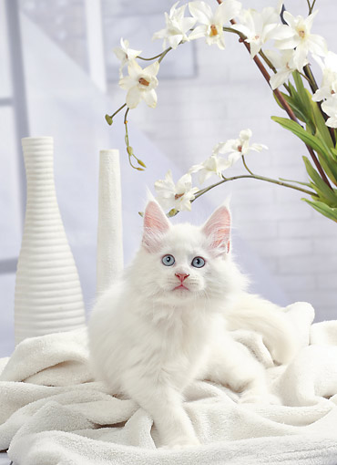 CAT 03 JE0434 01 © Kimball Stock Maine Coon Kitten White Sitting On White Blanket With Flowers