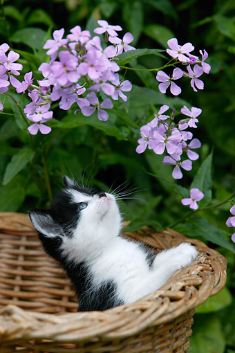 CAT 03 KH0001 01 © Kimball Stock Black And White Shorthair Kitten In Wicker Basket Looking At Purple Flowers