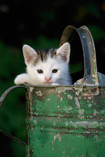 CAT 03 KH0004 01 © Kimball Stock Tabby Kitten Peeking Out Of Green Watering Can