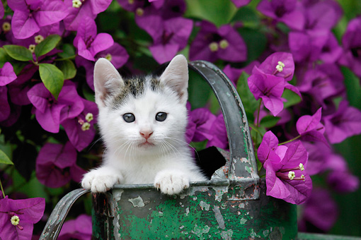 CAT 03 KH0005 01 © Kimball Stock Tabby Kitten Peeking Out Of Green Watering Can By Purple Flowers