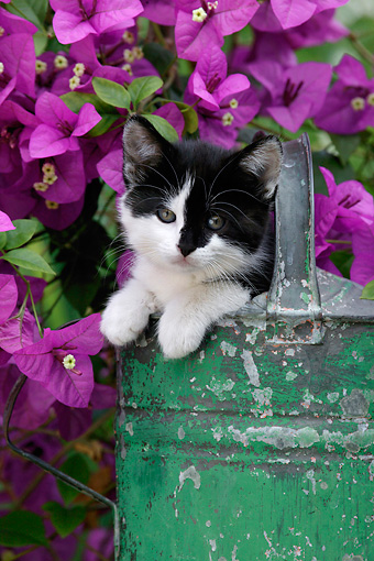 CAT 03 KH0006 01 © Kimball Stock Black And White Kitten Peeking Out Of Green Watering Can By Purple Flowers