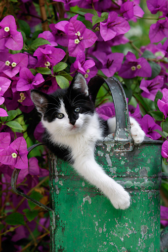 CAT 03 KH0007 01 © Kimball Stock Black And White Kitten Peeking Out Of Green Watering Can By Purple Flowers
