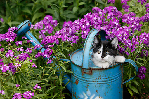 CAT 03 KH0008 01 © Kimball Stock Black And White Kitten Peeking Out Of Blue Watering Can By Purple Flowers