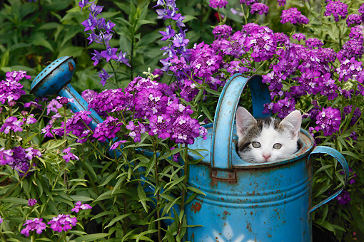 CAT 03 KH0009 01 © Kimball Stock Tabby Kitten Peeking Out Of Blue Watering Can By Purple Flowers