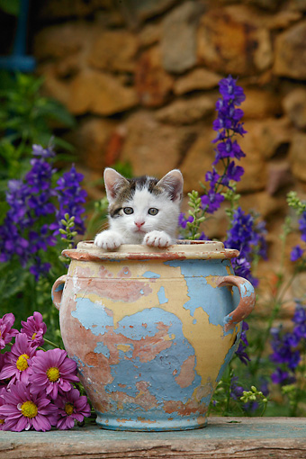 CAT 03 KH0010 01 © Kimball Stock Tabby Kitten Peeking Out Of Flower Pot By Purple Flowers And Stone Wall