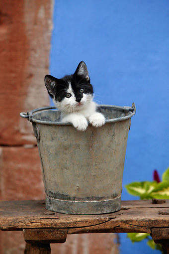 CAT 03 KH0013 01 © Kimball Stock Black And White Kitten Peeking Out Of Metal Bucket On Wooden Table By Blue Wall