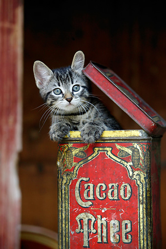 CAT 03 KH0017 01 © Kimball Stock Gray Tabby Kitten Peeking Out Of Tin Box