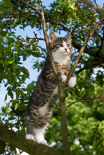 CAT 03 KH0020 01 © Kimball Stock Tabby Kitten Standing On Tree Limb Peeking Through Tree Branches