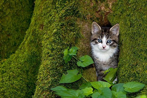CAT 03 KH0021 01 © Kimball Stock Tabby Kitten Peeking Out Of Mossy Tree Trunk By Leaves