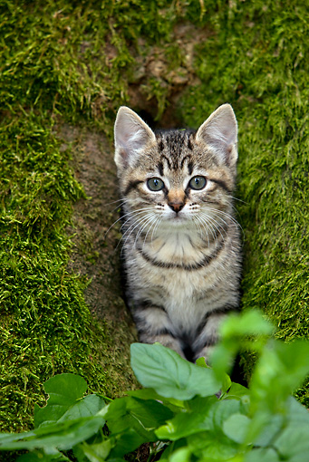 CAT 03 KH0022 01 © Kimball Stock Tabby Kitten Peeking Out Of Mossy Tree Trunk By Leaves