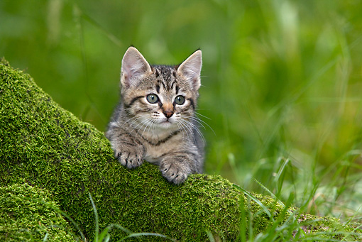 CAT 03 KH0024 01 © Kimball Stock Tabby Kitten Peeking Over Mossy Tree Trunk