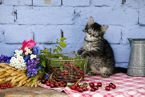CAT 03 KH0028 01 © Kimball Stock Tabby Kitten Sitting On Plaid Cloth By Basket Of Cherries And Bouquet Of Flowers By Blue Brick Wall