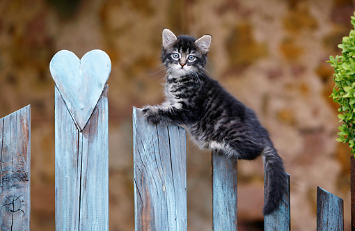 CAT 03 KH0030 01 © Kimball Stock Tabby Kitten Standing On Wooden Fence With Heart Carving