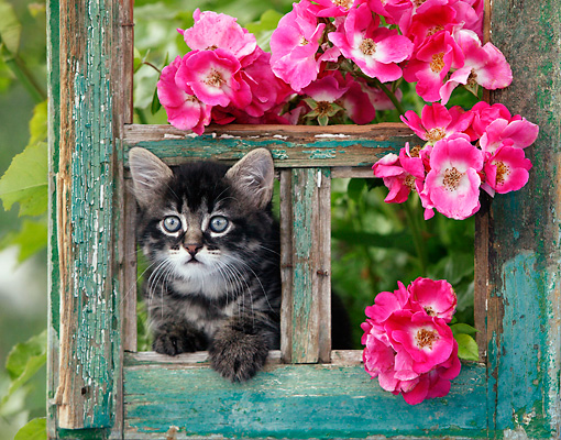 CAT 03 KH0031 01 © Kimball Stock Tabby Kitten Peeking Out Of Green Window Frame By Pink Roses