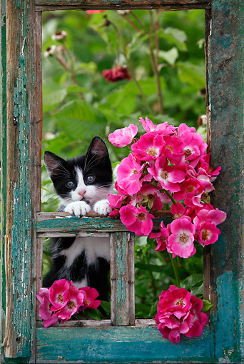 CAT 03 KH0032 01 © Kimball Stock Black And White Kitten Peeking Out Of Green Window Frame By Pink Roses