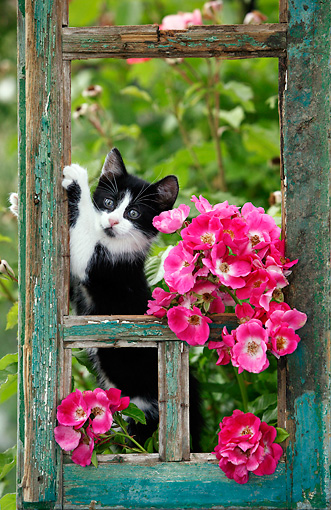 CAT 03 KH0033 01 © Kimball Stock Black And White Kitten Peeking Out Of Green Window Frame By Pink Roses