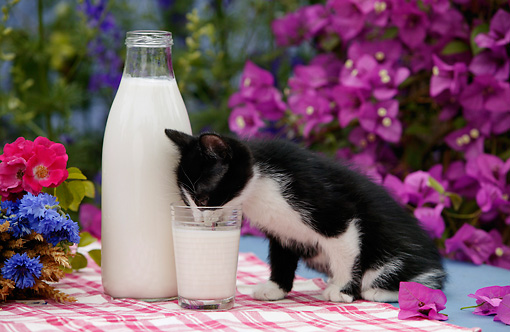 CAT 03 KH0034 01 © Kimball Stock Black And White Kitten Drinking Milk Out Of Glass On Table By Purple Flowers