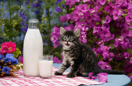 CAT 03 KH0035 01 © Kimball Stock Tabby Kitten Licking Lips Sitting By Milk On Table By Purple Flowers