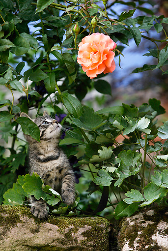 CAT 03 KH0037 01 © Kimball Stock Tabby Kitten Sitting On Rock In Foliage Looking Up At Orange Rose