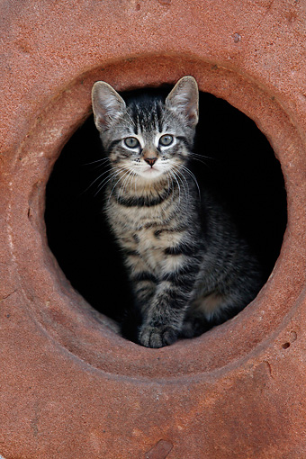 CAT 03 KH0038 01 © Kimball Stock Tabby Kitten Peering Out Of Hole In Red Stone Wall