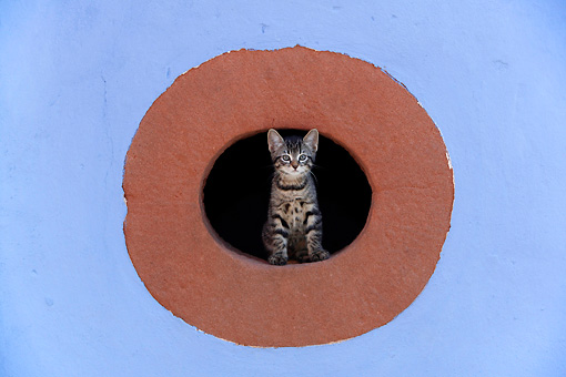 CAT 03 KH0039 01 © Kimball Stock Tabby Kitten Peering Out Of Hole In Red And Blue Stone Wall