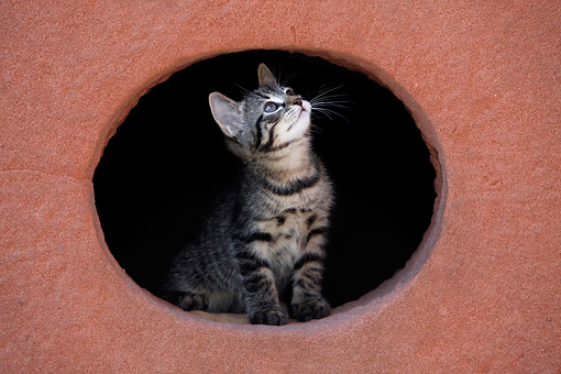 CAT 03 KH0040 01 © Kimball Stock Tabby Kitten Peering Out Of Hole In Red Stone Wall Looking Up