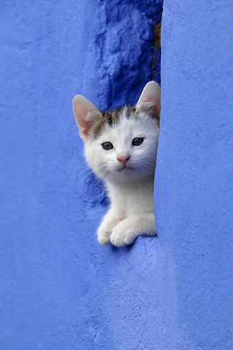 CAT 03 KH0042 01 © Kimball Stock Tabby Kitten Peering Out Of Hole In Blue Stone Wall