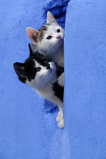 CAT 03 KH0043 01 © Kimball Stock Black And White Kitten And Tabby Kitten Peering Out Of Hole In Blue Stone Wall