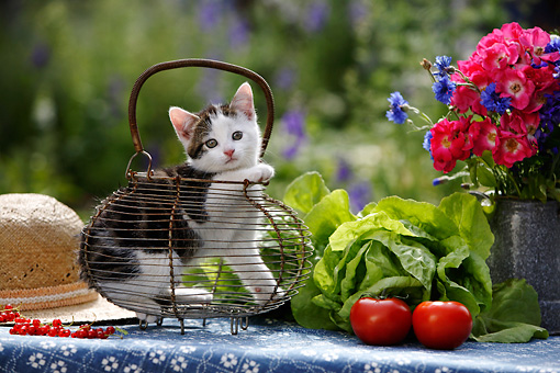 CAT 03 KH0047 01 © Kimball Stock Tabby Kitten Sitting In Basket On Table By Lettuce Tomatoes Flowers