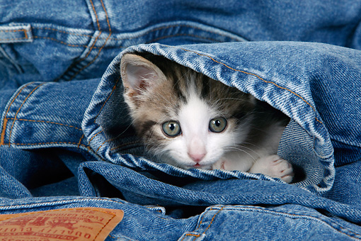 CAT 03 KH0049 01 © Kimball Stock Tabby Kitten Laying Inside Jeans Leg