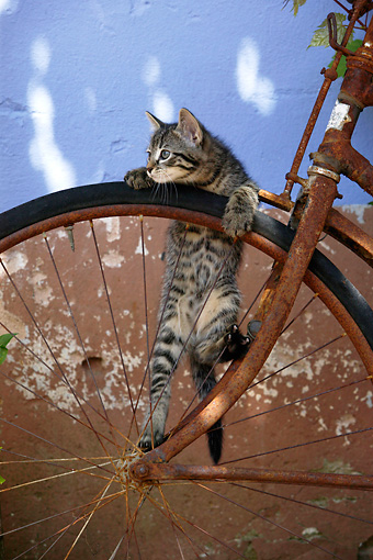 CAT 03 KH0059 01 © Kimball Stock Tabby Kitten Climbing On Rusty Bicycle Wheel By Wall