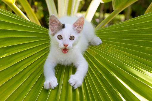 CAT 03 KH0060 01 © Kimball Stock Gray And White Kitten Sitting On Palm Frond