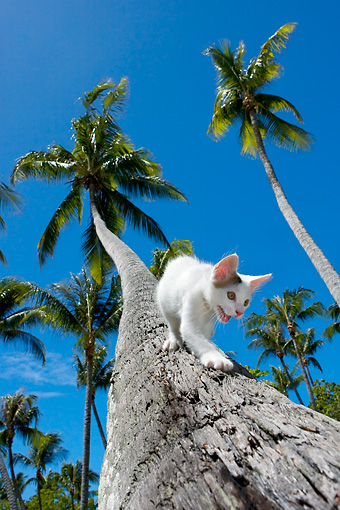 CAT 03 KH0062 01 © Kimball Stock Gray And White Kitten Climbing Down Palm Tree Trunk