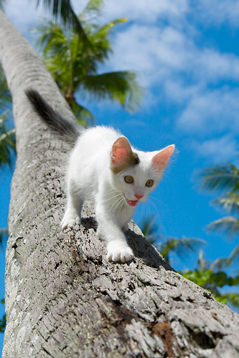 CAT 03 KH0063 01 © Kimball Stock Gray And White Kitten Climbing Down Palm Tree Trunk