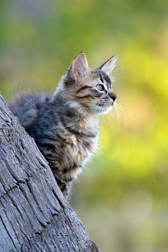 CAT 03 KH0064 01 © Kimball Stock Tabby Kitten Sitting On Palm Tree Trunk