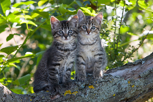 CAT 03 KH0069 01 © Kimball Stock Two Tabby Kittens Sitting On Tree Branch