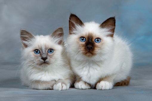 CAT 03 KH0082 01 © Kimball Stock Birman Blue Point And Seal Point Kittens Laying Down Studio