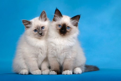 CAT 03 KH0083 01 © Kimball Stock Birman Blue Point And Seal Point Kittens Sitting Studio