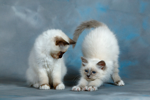 CAT 03 KH0084 01 © Kimball Stock Birman Seal Point And Blue Point Kittens Sitting And Stretching Studio