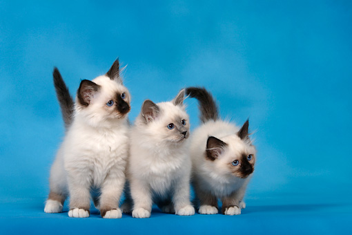CAT 03 KH0087 01 © Kimball Stock Three Birman Seal Point And Blue Point Kittens Standing Studio