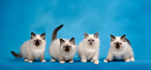 CAT 03 KH0088 01 © Kimball Stock Four Birman Seal Point And Blue Point Kittens Standing Studio