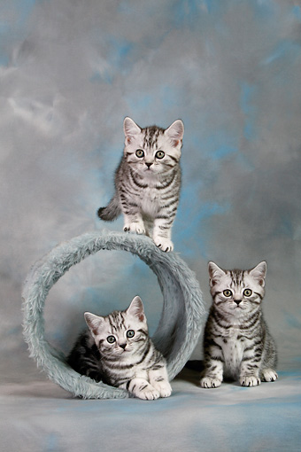 CAT 03 KH0093 01 © Kimball Stock Three British Shorthair Silver Tabby Kittens With Barrel Toy Studio