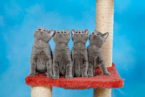 CAT 03 KH0099 01 © Kimball Stock Four Russian Blue Kittens Sitting On Red Scratching Post Looking Up Studio
