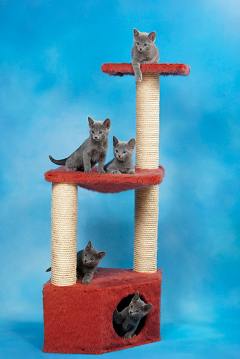 CAT 03 KH0101 01 © Kimball Stock Five Russian Blue Kittens Sitting On Red Scratching Post Studio
