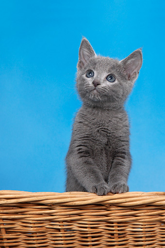 CAT 03 KH0102 01 © Kimball Stock Russian Blue Kitten Standing In Wicker Basket Studio
