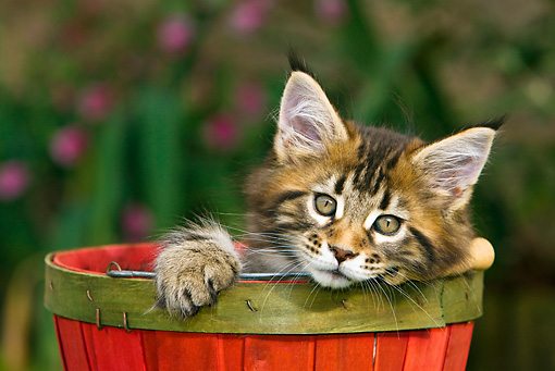 CAT 03 KH0245 01 © Kimball Stock Maine Coon Kitten Sitting In Red Wooden Bucket